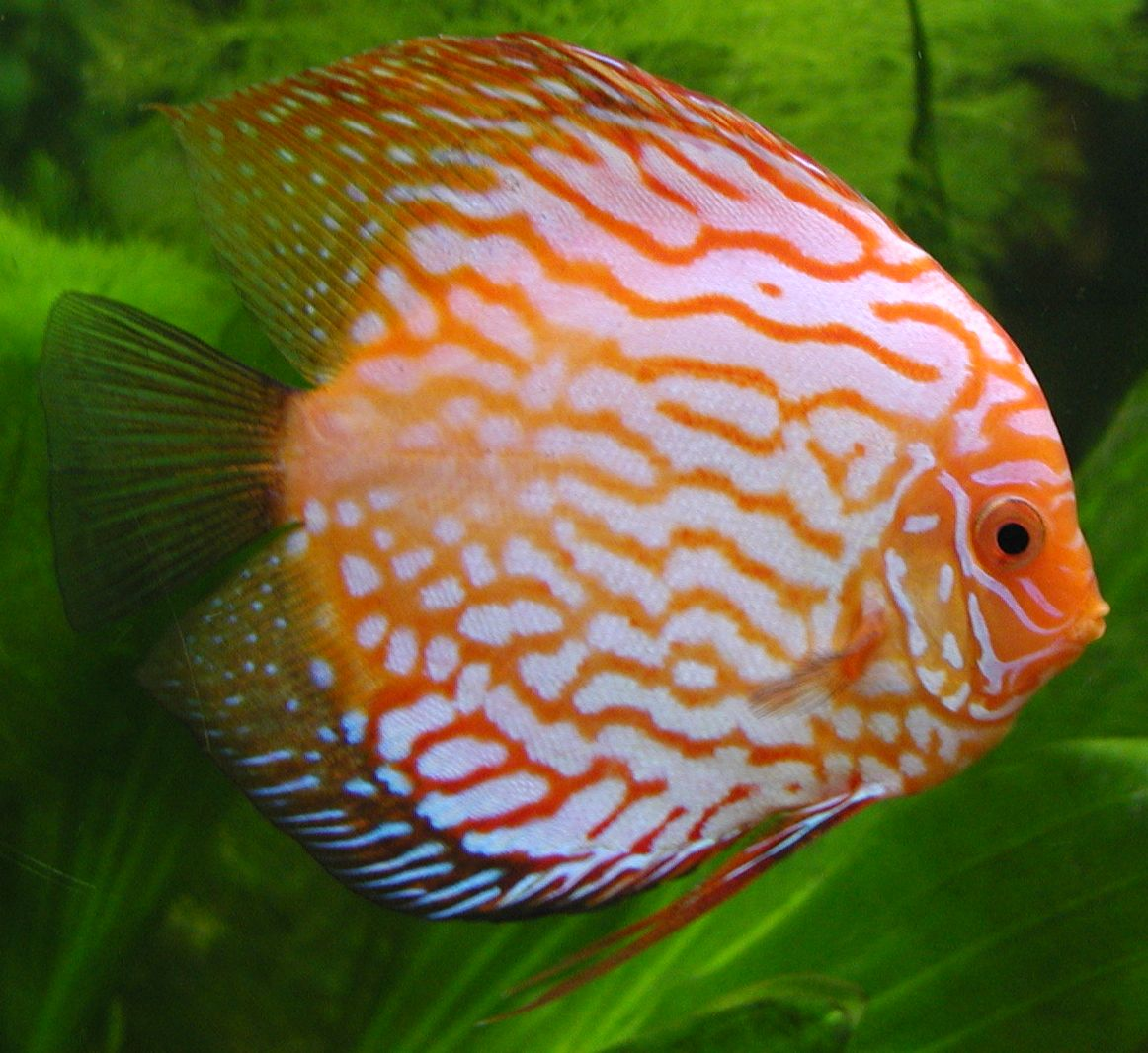 http://aquatropicalfish.files.wordpress.com/2009/02/aqua-tropical-fish-discus.jpg